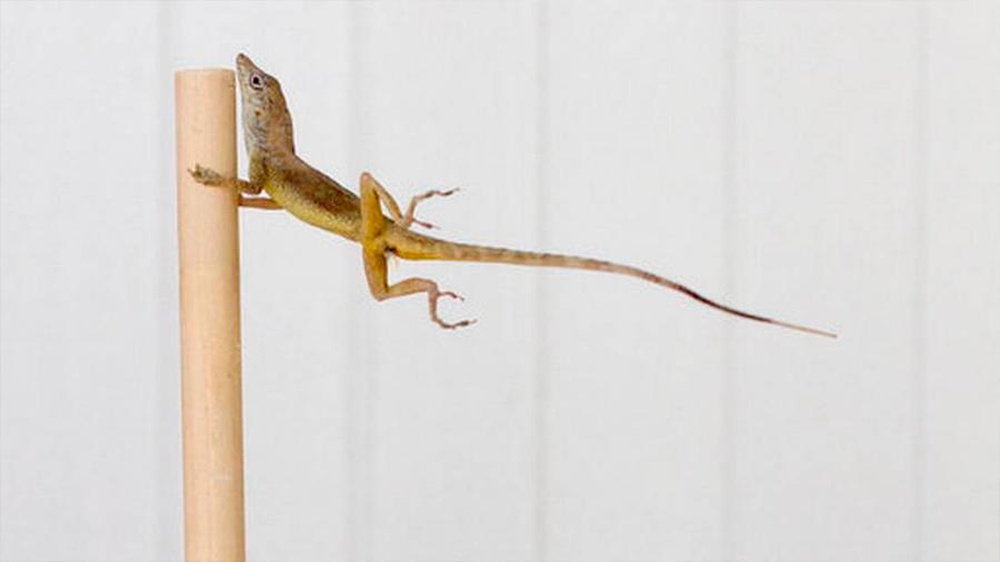Las lagartijas tienen la respuesta a cómo resistir los vientos de un huracán