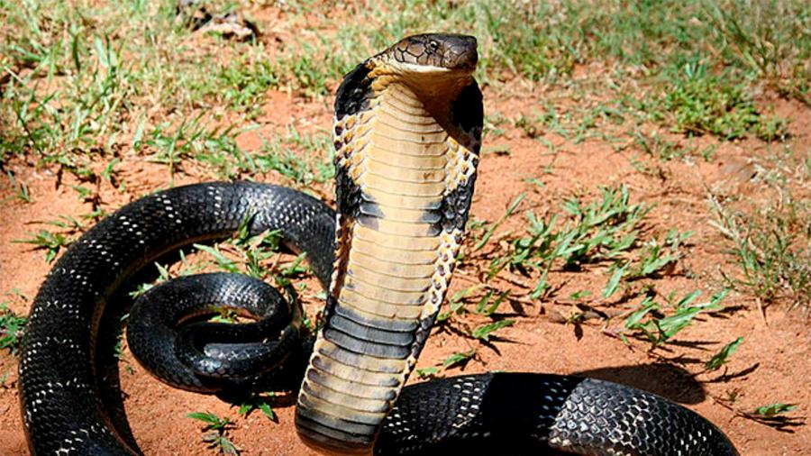 La temida cobra gigante africana no es en realidad una sola especie, ¡sino cinco!