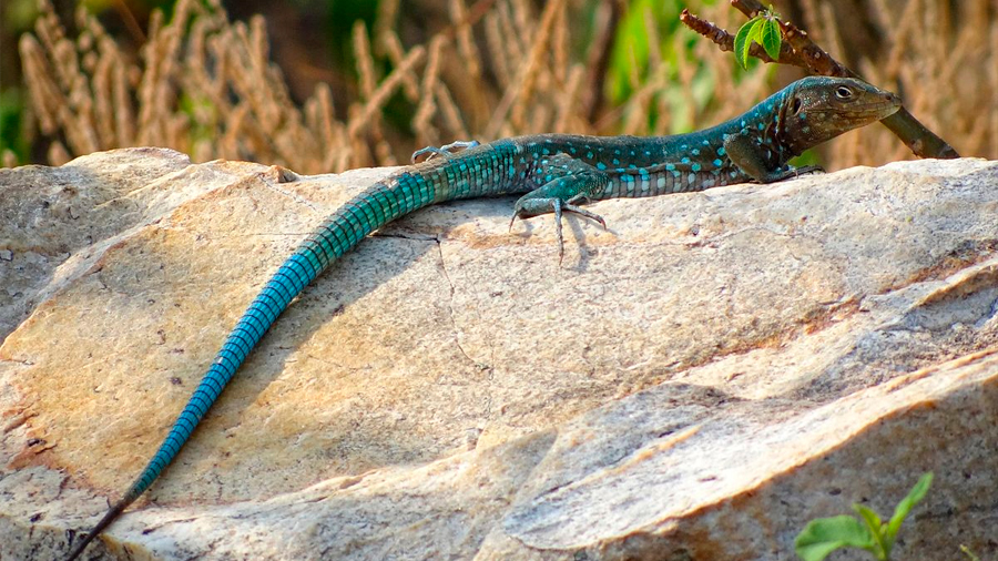 Cuando pierden su cola, los machos de lagartijas azules crecen menos