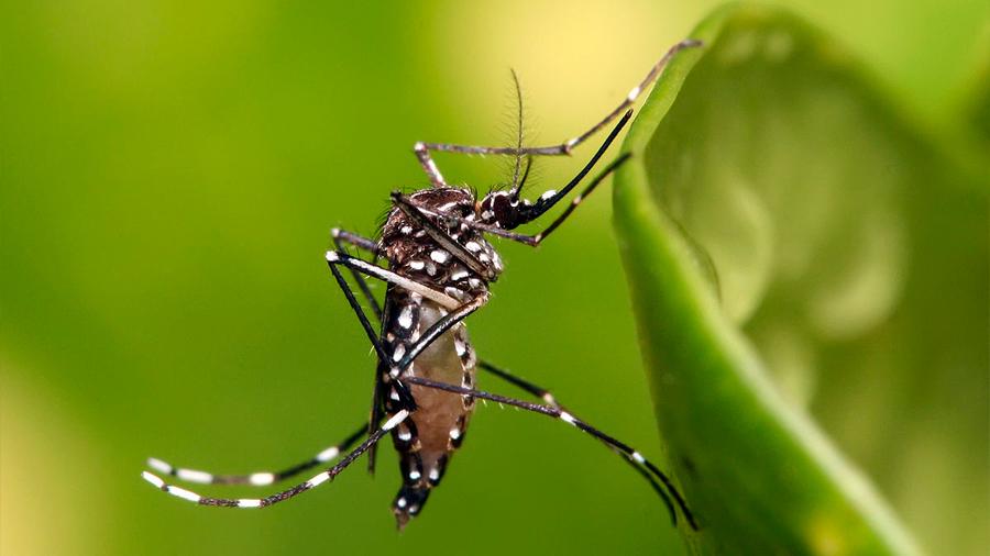 El mosquito Aedes aegypti, vector principal del Dengue y otros arbovirus