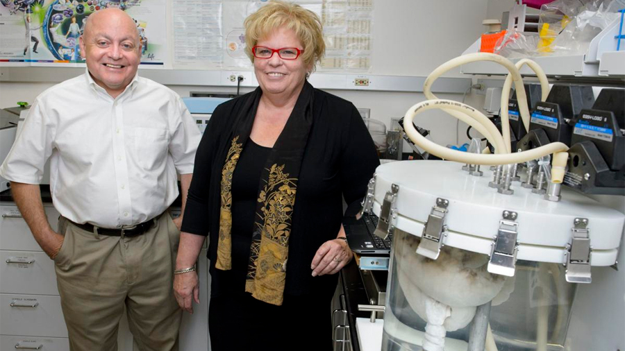 Trasplantan con éxito en cerdos pulmones desarrollados en el laboratorio
