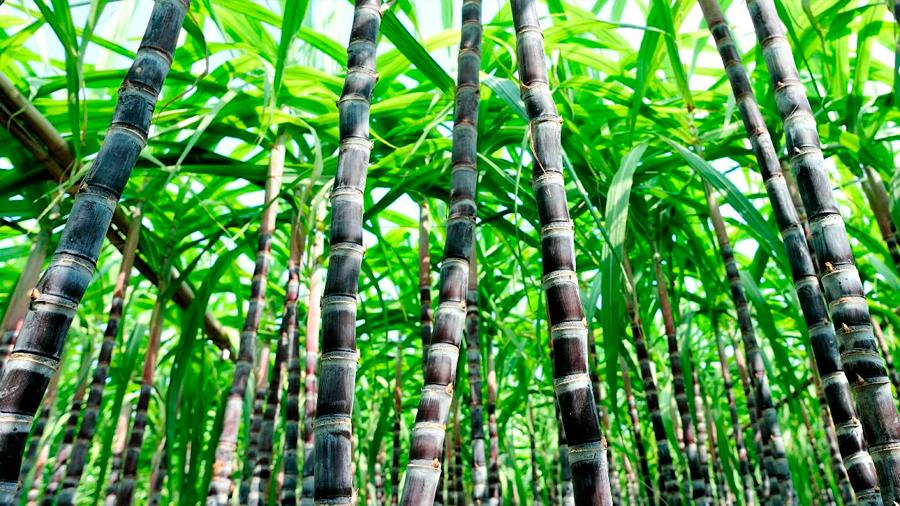 Identificado un gen clave para acelerar el crecimiento de la caña de azúcar
