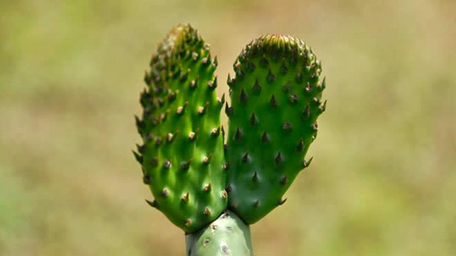 Investigador mexicano obtiene nuevos materiales con residuos del nopal