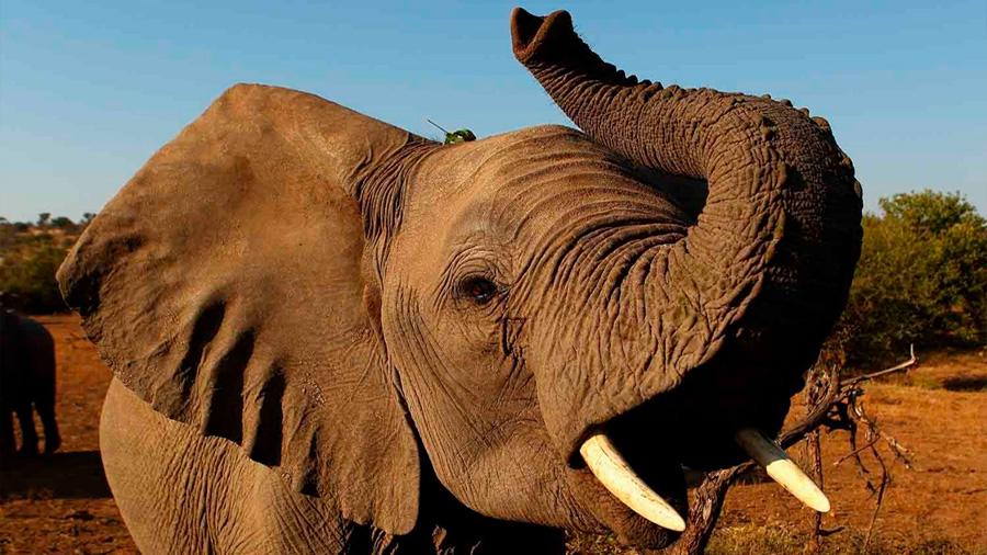 Descubren una nueva función de la trompa de los elefantes; oler y hallar comida a distancia