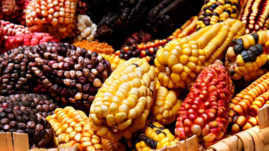 Un maíz mexicano obtiene nitrógeno del aire al reducir el consumo de fertilizantes