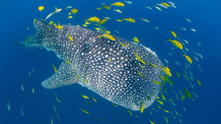 El mayor pez de la Tierra (tiburón ballena) viaja poco, según su 'pasaporte biológico'