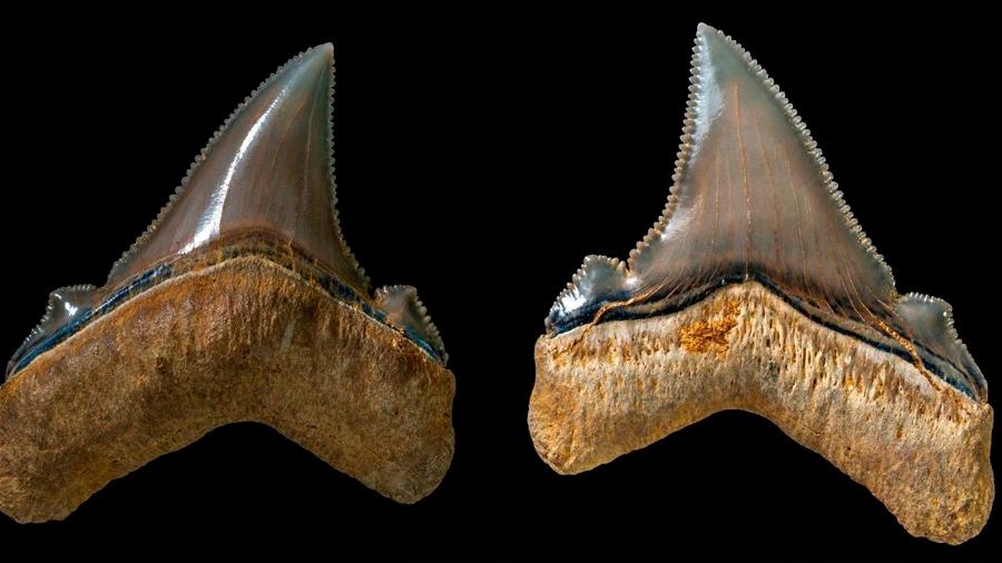 Hallan los dientes de un tiburón prehistórico gigante en Australia que vivió hace 25 millones de años
