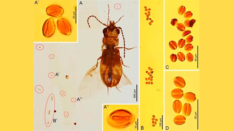 Los escarabajos ya polinizaban en el Jurásico temprano, mucho antes de que lo hicieran las abejas