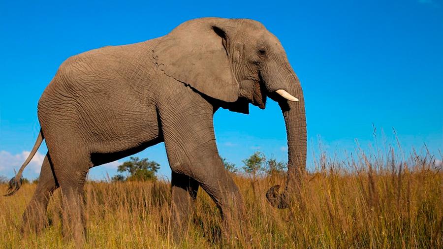 """Un gen """"zombi"""" hace a los elefantes inmunes al cáncer"""