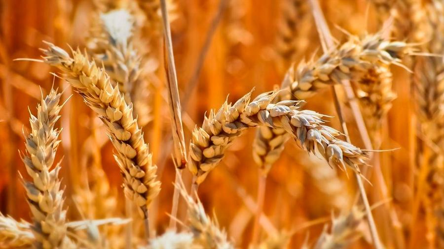 Científicos publican la secuencia de los 107,891 genes del trigo