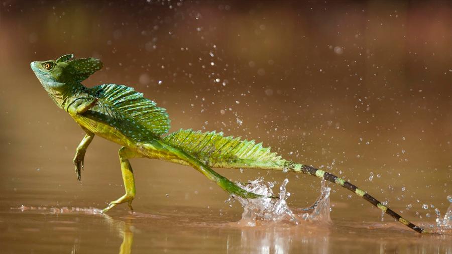 Los lagartos con patas largas se adaptan mejor a la supervivencia de huracanes