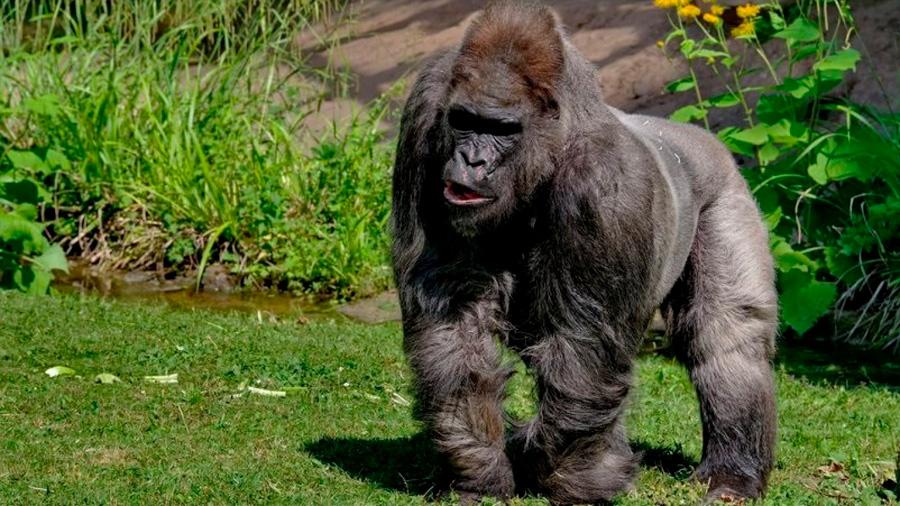 Muere Fritz, uno de los gorilas más ancianos de Europa, a los 55 años