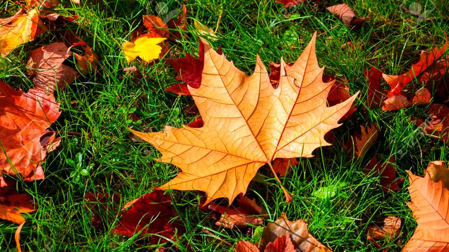 Descubren que el extracto de las hojas de árbol de arce pueden prevenir las arrugas