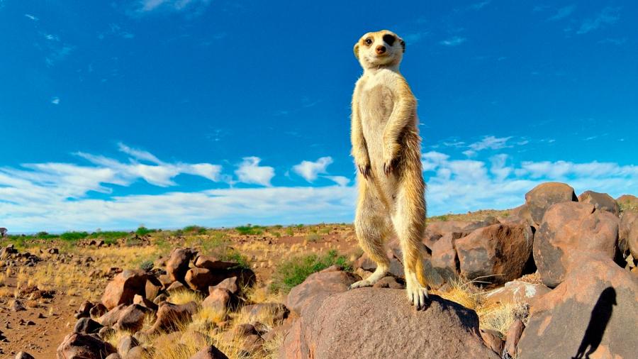 """Los suricatos solo duermen tranquilos si su centinela """"tiene experiencia"""""""