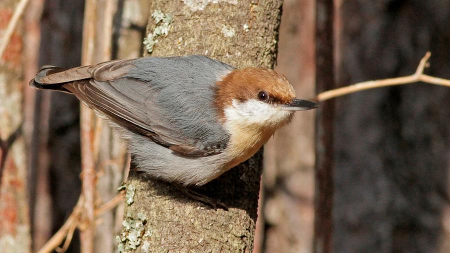 Un ave que se creía extinta tras el huracán Matthew reaparece en Bahamas