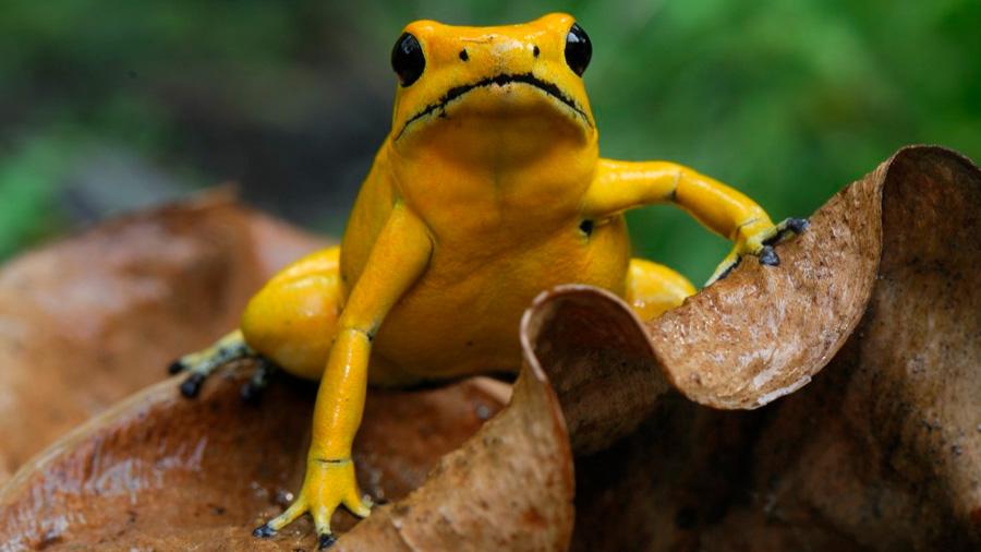 Tras el secreto del mortal coctel de la rana dorada, que mata humanos en minutos