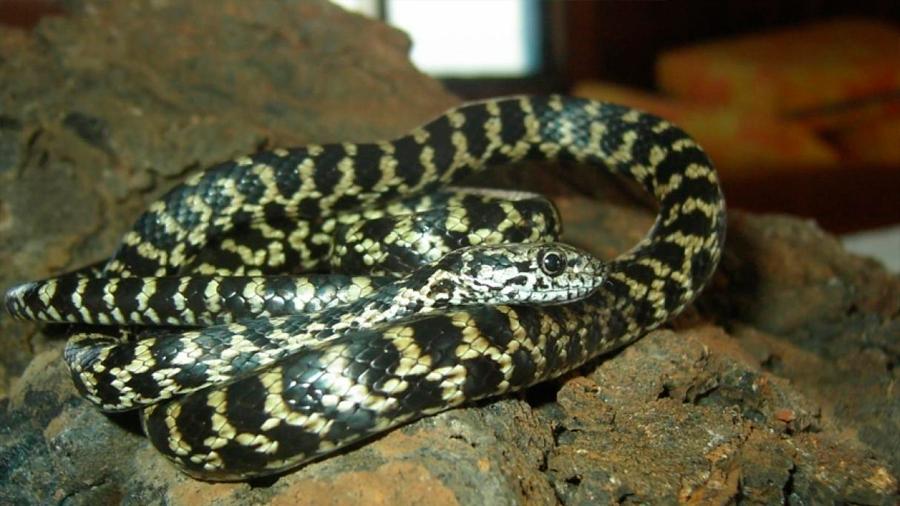 Científicos descubren tres nuevas especies de serpientes en Galápagos (Ecuador)