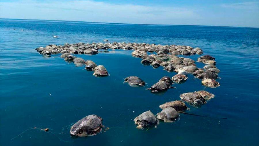 México: hallan muertas en redes de pescar atún a unas 300 tortugas en peligro de extinción
