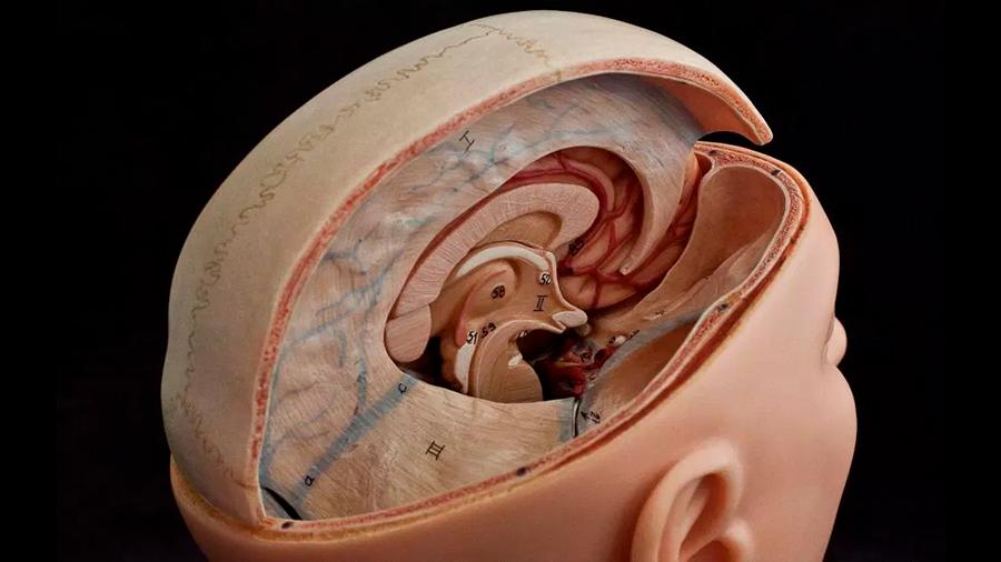 Descubren túneles secretos entre el cráneo y el cerebro