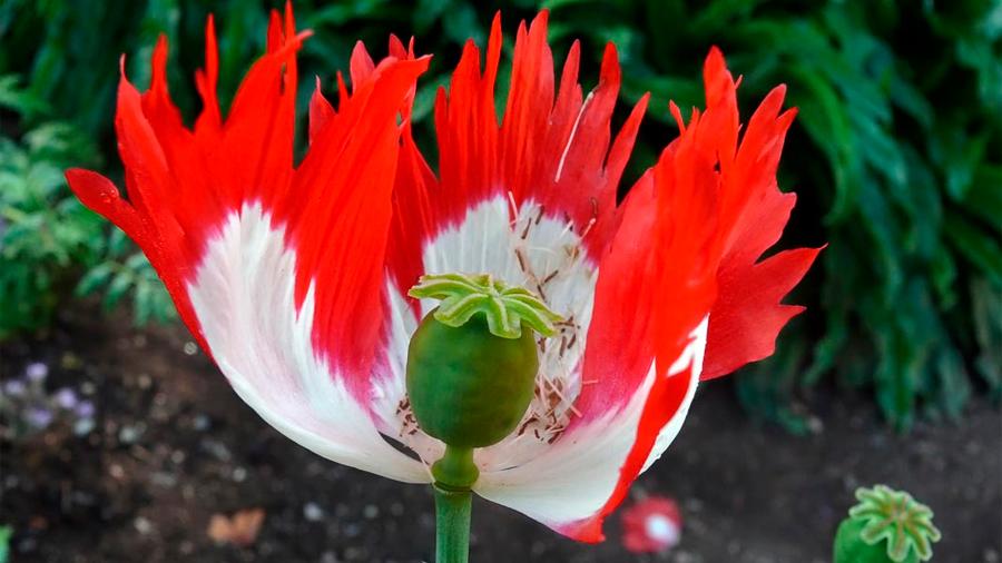 Desvelan el secreto de las flores del opio, de la que se produce heroína