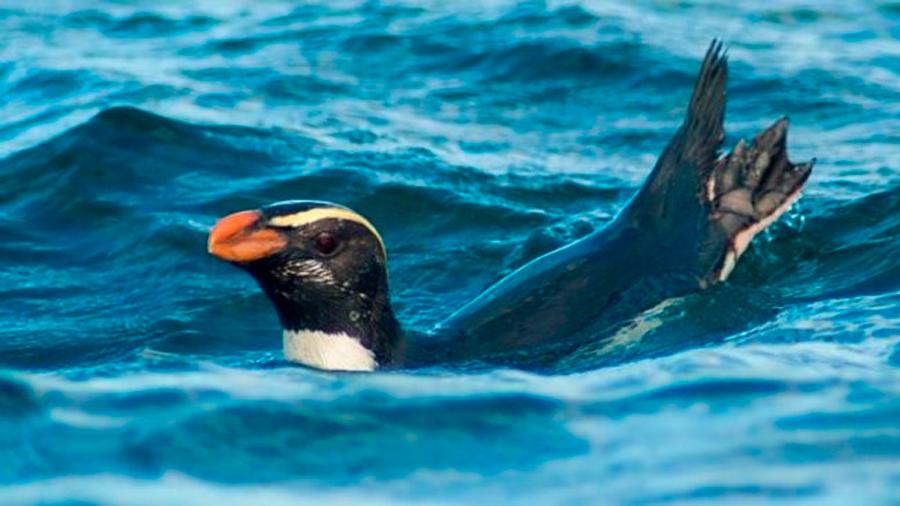 Logran seguir por primera vez la solitaria maratón de 2 meses de un pingüino neozelandés: 6,800 kms