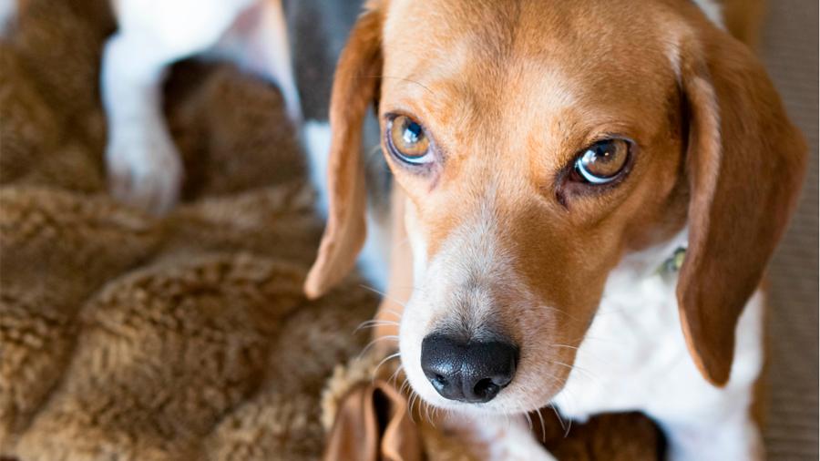 Una 'alucinante' cura de perros con distrofia muscular acerca la solución a humanos
