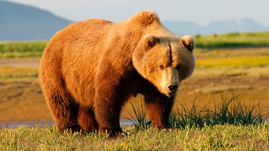 Un juez de EU bloquea temporada de cacería de osos grizzly en alrededores de Yellowstone: quedan 700 ejemplares