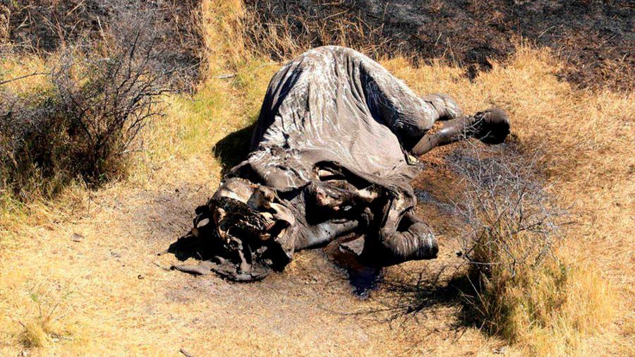 Encuentran casi un centenar de elefantes asesinados en Botsuana
