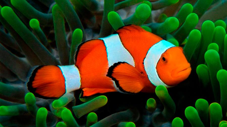 Las rayas del pez payaso influyen en la organización de la especie