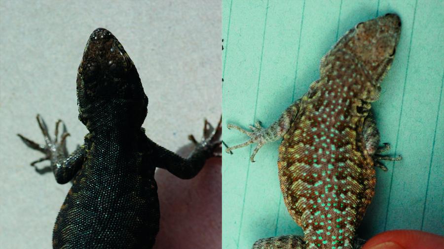 Probado en lagartijas un proceso evolutivo teorizado hace un siglo