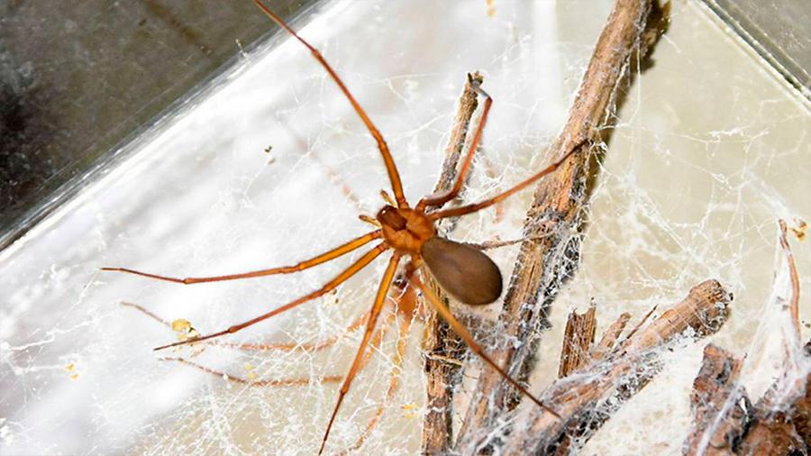 Desabasto de antiveneno para envenenamientos por araña violinista
