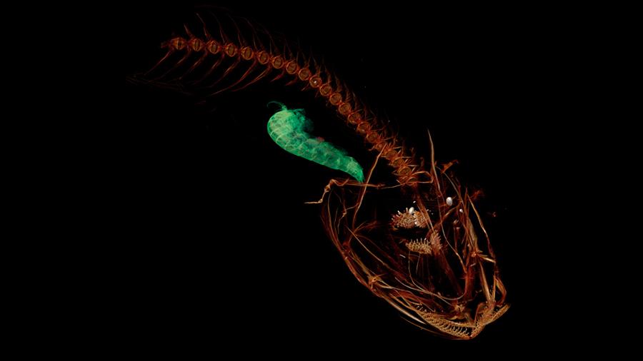 Tres nuevas especies de peces aparecen en un abismo del Pacífico