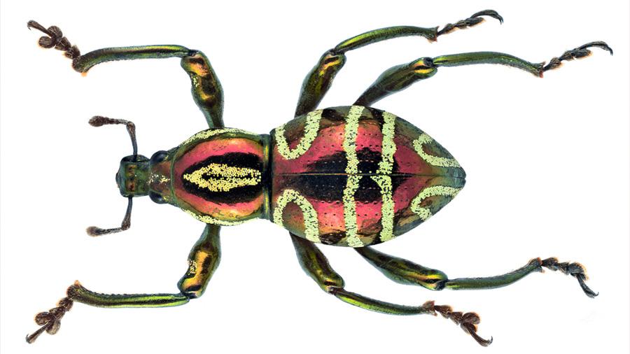 Un insecto inspira un nuevo mecanismo para producir color