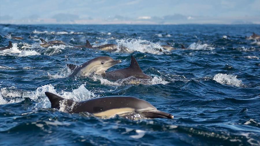 Mágica escena: una 'supermanada' de delfines caza millones de peces en el Pacífico