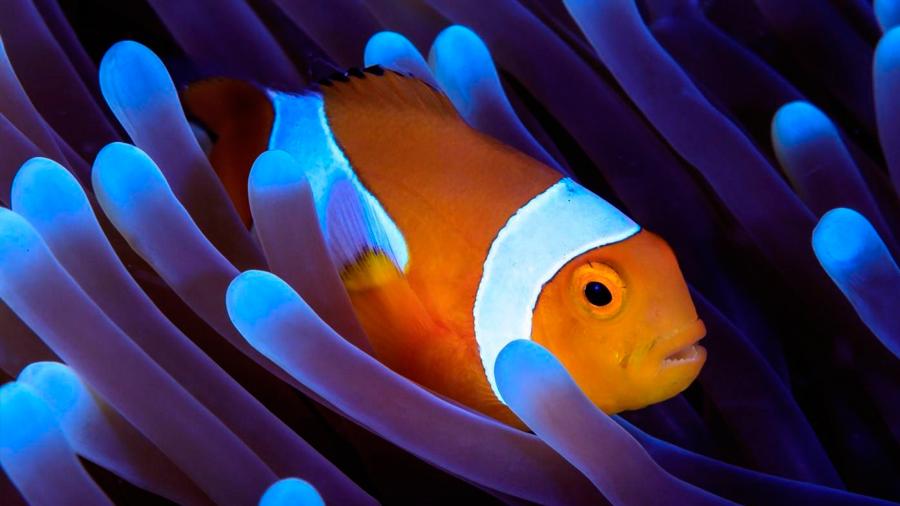 Secuenciado el genoma de Nemo