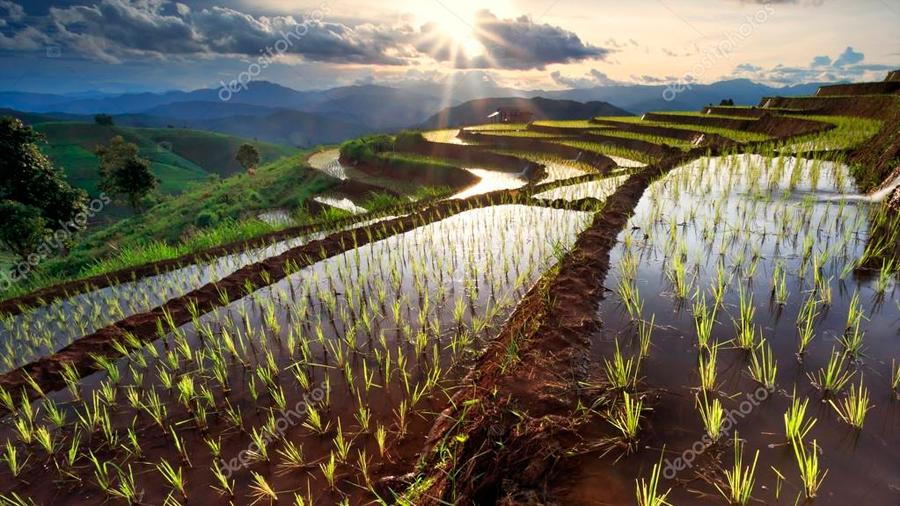 Los arrozales emiten gas invernadero como 600 plantas de carbón