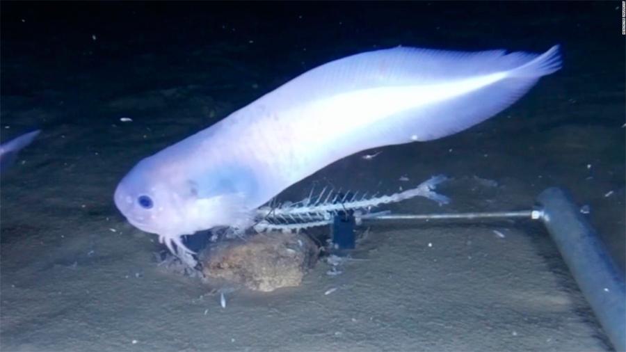 Descubren extraños peces que viven a 7.5 km de profundidad en el Pacífico y se derriten en la superficie