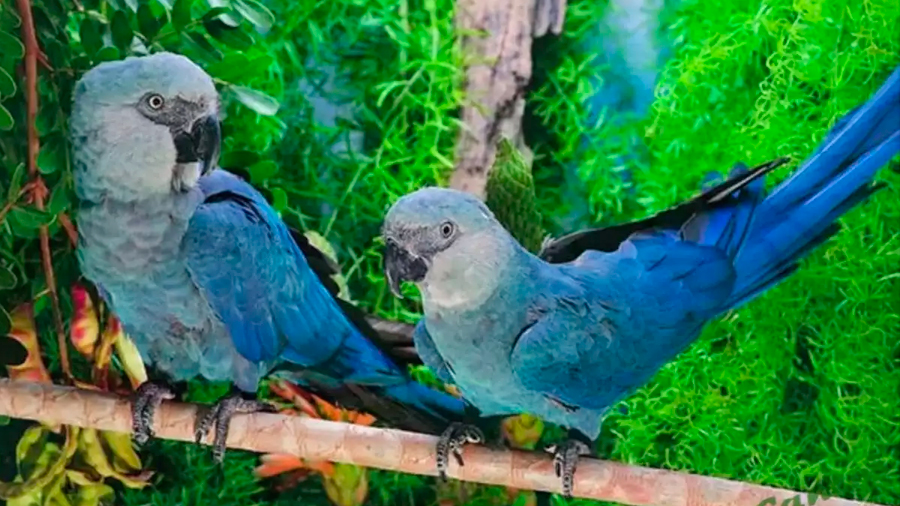 """Guacamayos azules que inspiraron la película """"Rio"""" fueron declarados extintos"""