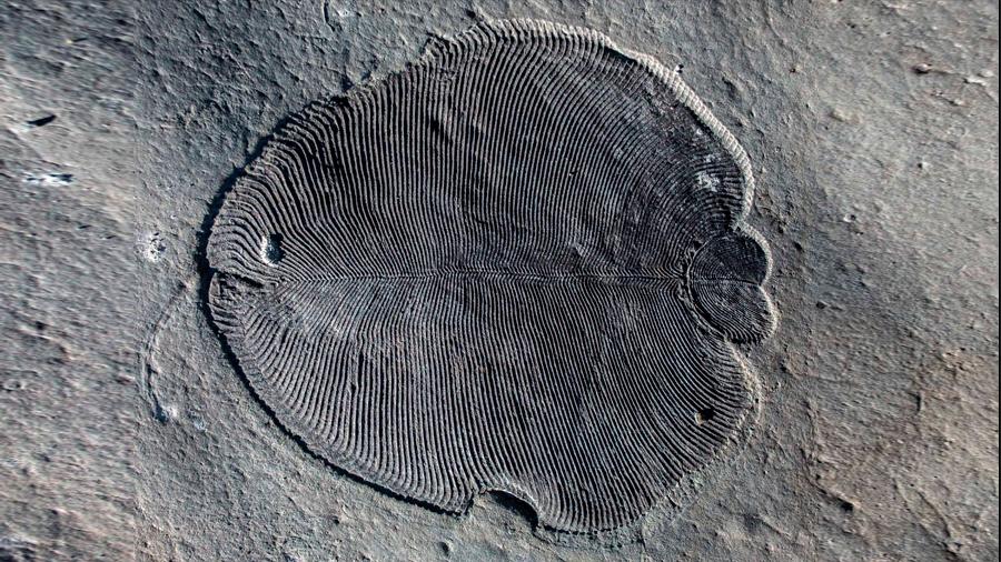 Despejan dudas; 'Dickinsonia', el animal más antiguo que se conoce