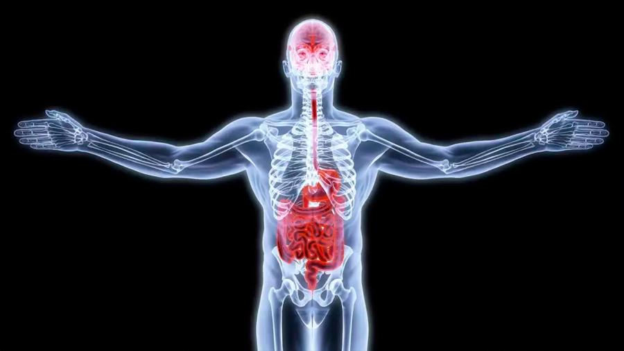 Científicos descubren una vía de comunicación directa entre el intestino y el cerebro