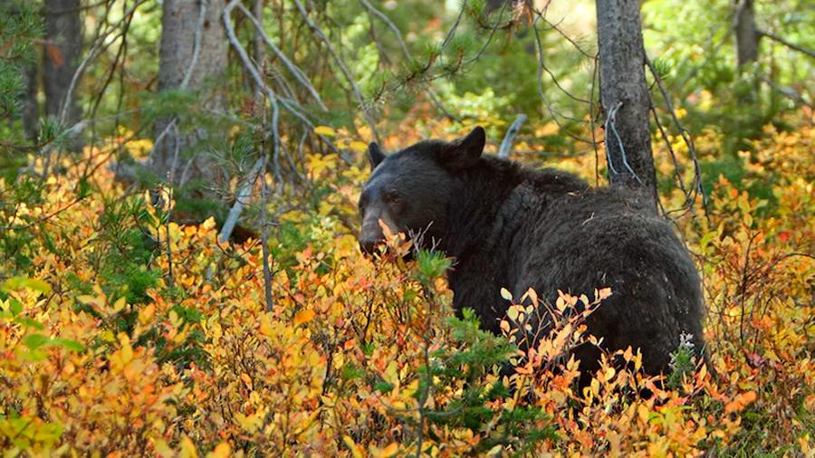 Captan un oso devorando a otro en Canadá, canibalismo entre estos animales no es tan atípico como se piensa