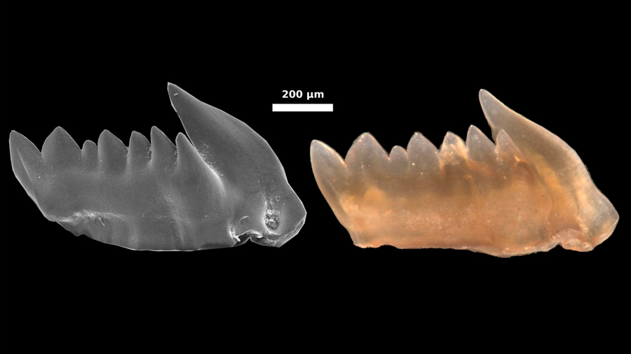 Los primeros depredadores tuvieron dientes que se regeneraban
