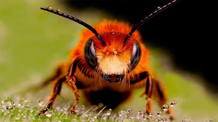 Un común herbicida, sospechoso de causar el declive de las abejas