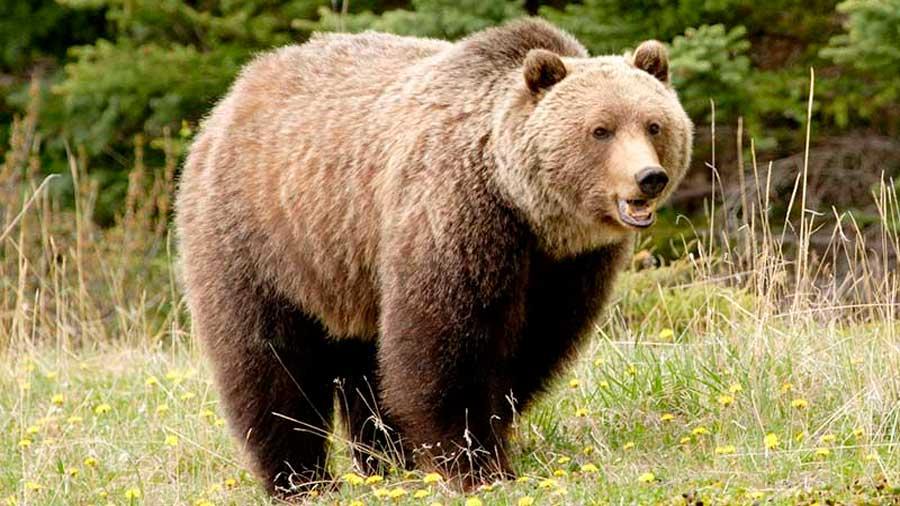 El oso grizzly de Yellowstone nuevamente considerado especie amenazada por EU