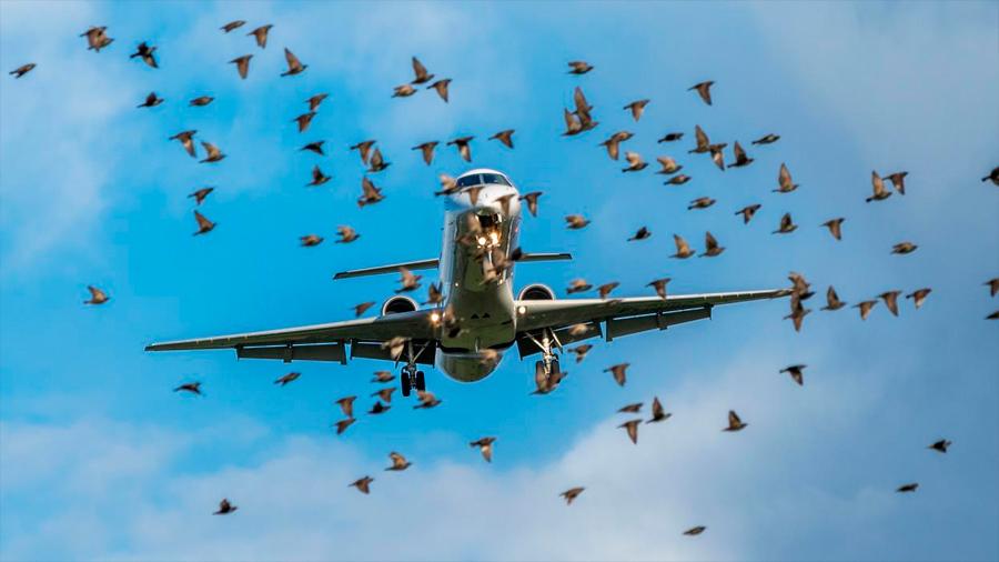 Las luces LED pueden evitar que millones de aves choquen con aviones