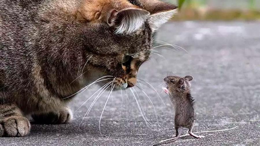 Los gatos no son buenos cazadores de ratas, según científicos