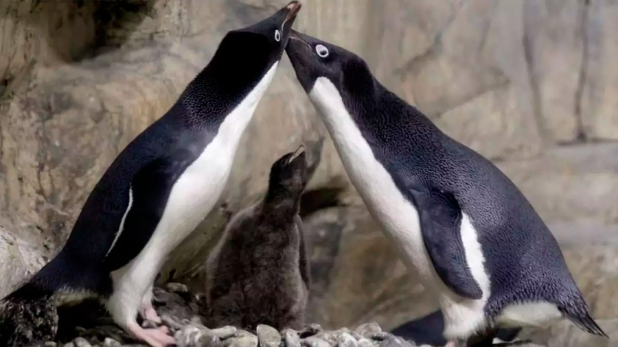 Una pareja de pingüinos gay secuestró a una cría abandonada por sus padres