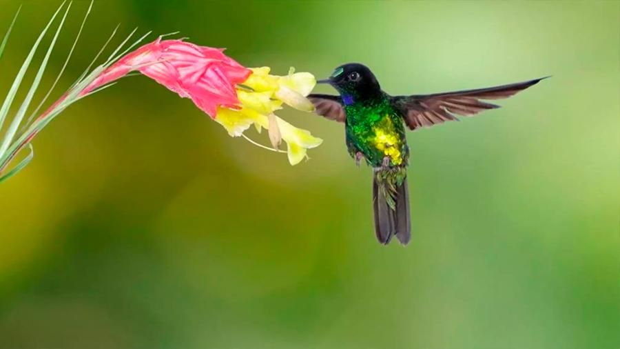 Una sola zona a la vez: para rescatar el planeta, podemos empezar por los colibríes