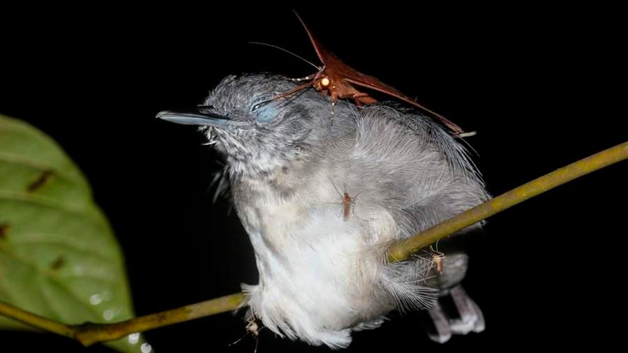Biólogo registra fotográficamente a polillas succionando las lágrimas de pájaros en el Amazonas