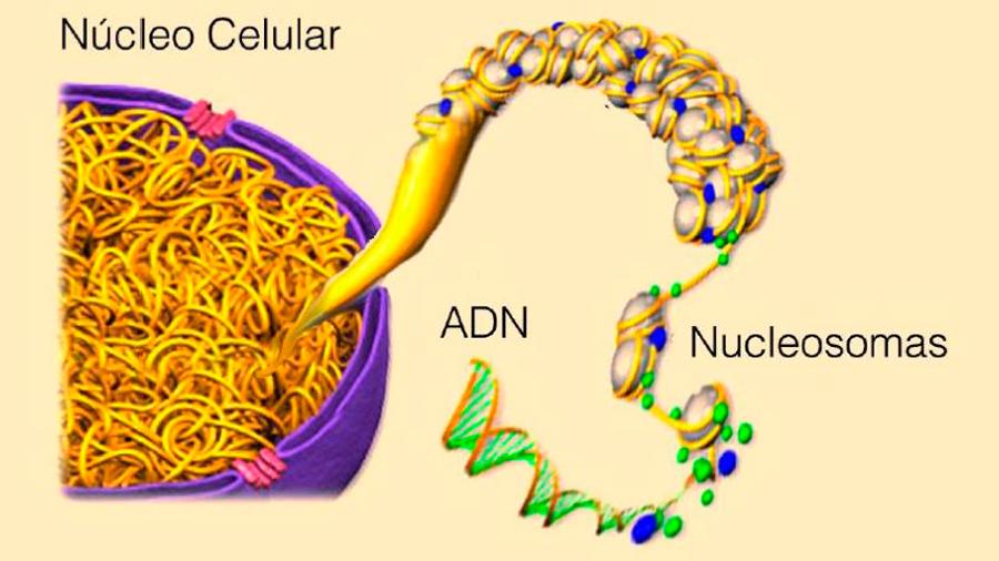 Descifrado el primer nivel de plegamiento del ADN